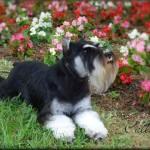 Beautiful Callie;CH Southcreek's Aye Calypso now retired