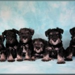 Austin 4th pup from left to right