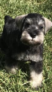 Puppy News | Kindreds Classic Miniature Schnauzers